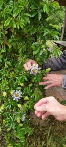 De passiebloem is een klimplant met prachtige vruchten.